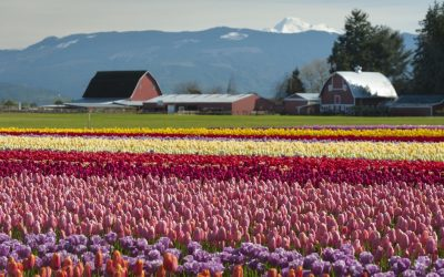 Don't Miss the 2018 Skagit Valley Tulip Festival